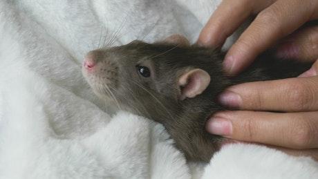 Gray rat receiving a massage