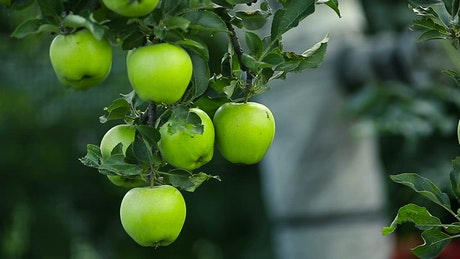 Green apples hanging on a tree
