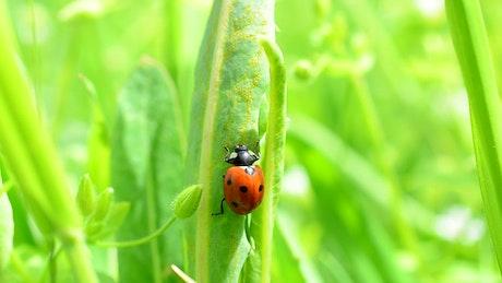 Green boils while a ladybug crawls up them