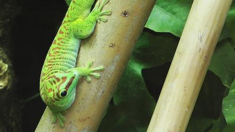 Green chameleon-like lizard