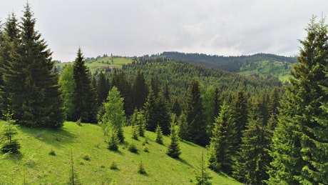 Green forest in spring full of pines