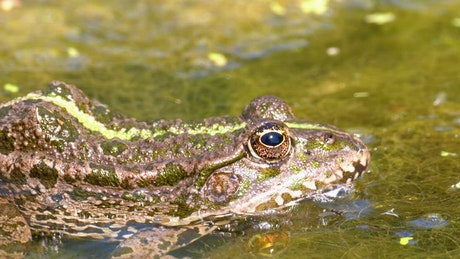 Green frog blinking in the swamp water