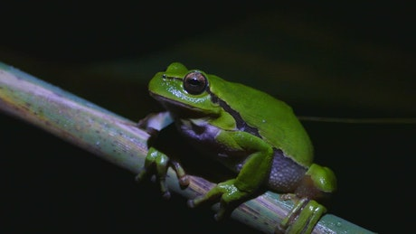 Green frog breathing during a dark night