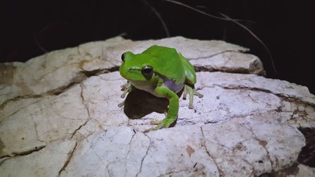 Green frog standing on a rock