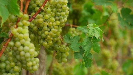 Green grapes scene
