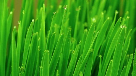 Green grasses covered by dew drops