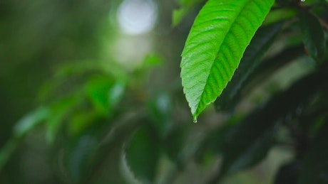 Green leaf of a tree wet from the rain