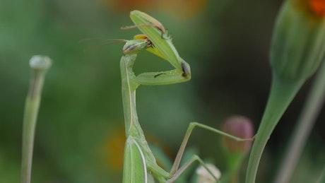 Green Matis eating
