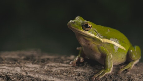Green toad breathing with a dark background