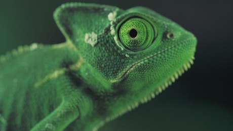 Green vailed chameleon seen from one side