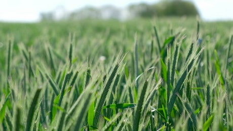 Green wheat moving in the wind