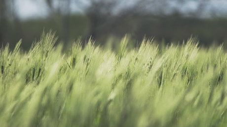Green wheat moving with the wind