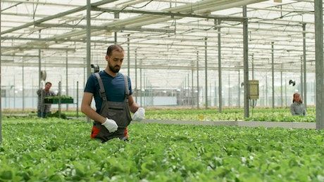 Greenhouse worker inspects growth of vegetables