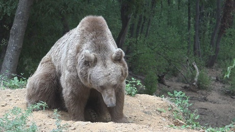 Grizzly bear sniffing the ground