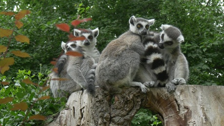 Group of lemurs on a trunk