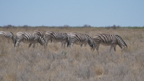 Group of zebras eating in the savannah