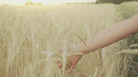 Hand brushing through wheat field in slow motion