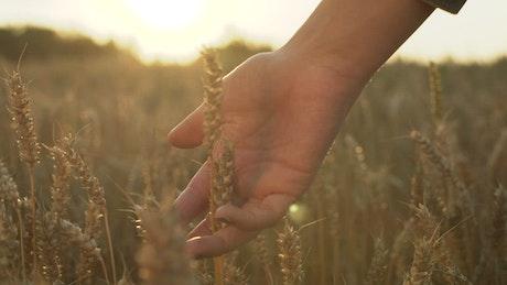 Hand caressing the wheat grain