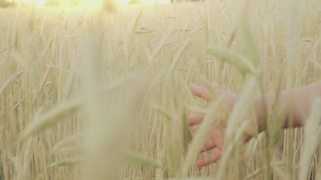 Hand of a girl during a walk in a wheat field