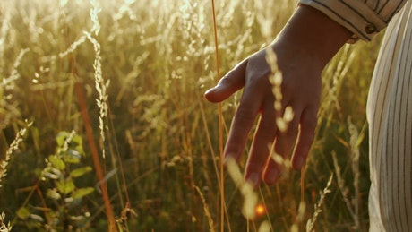 Hand touching wheat in golden sunset