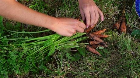 Hands harvesting wild carrots