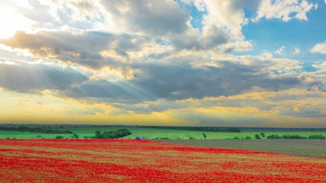 Harvesting a red flower field