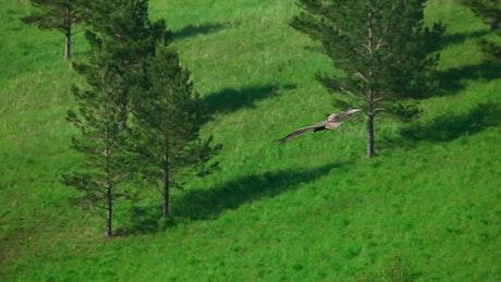 Hawk flying in the meadow