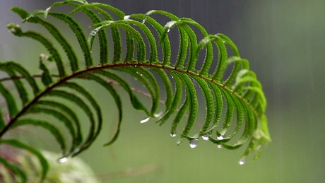 Heavy rain falling on a fern