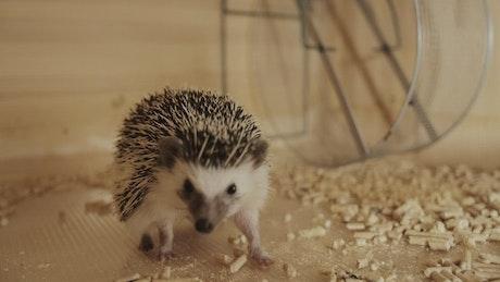Hedgehog pet running