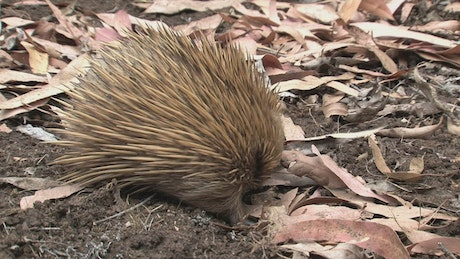 Hedgehog sniffing the ground