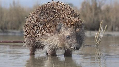 Hedgehog walking on the water