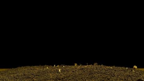 Hemp germinating on a black background