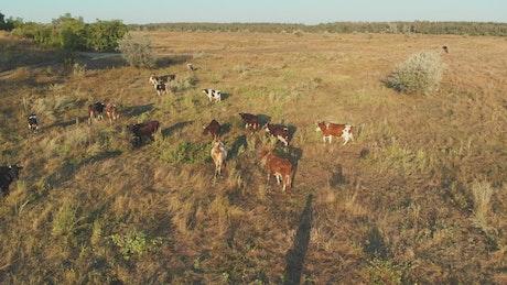 Herd cows grazing in the meadow