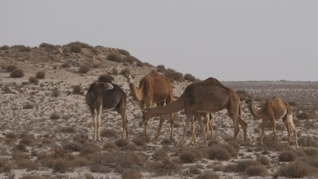 Herd of camels in a sandy desert with dunes