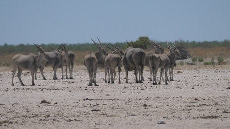 Herd of common elands on a hot and dry savanna