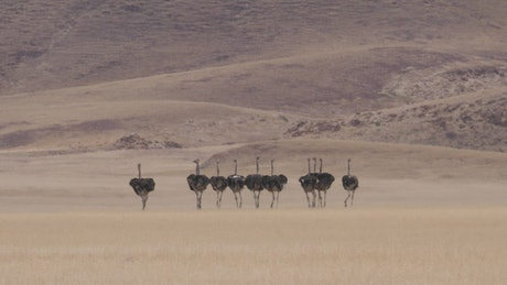 Herd of Ostrich running on a dry savanna