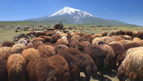 Herd of sheep in the mountain valley