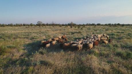 Herd walking in a field in nature