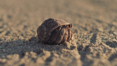 Hermit crab walking on the sand