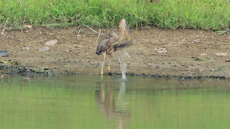 Heron drinking by a lake