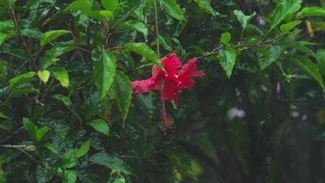 Hibiscus flower under heavy rain