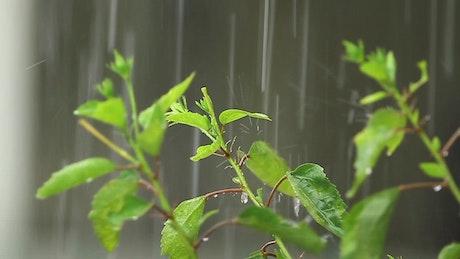 Hibiscus in the rain