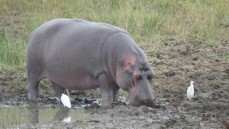 Hippo sleeping near a pond