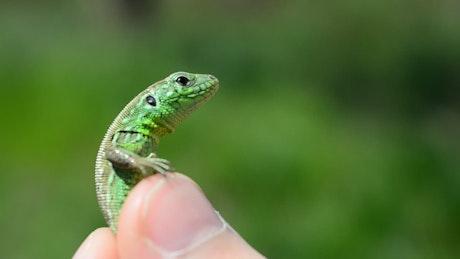 Holding a small lizard