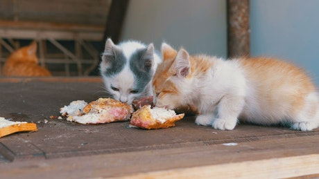 Homeless kittens eating on the street