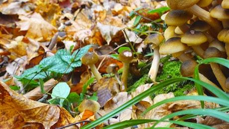 Honey Fungus growing on the floor