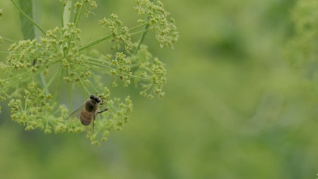 Honeybee feeding on a flower