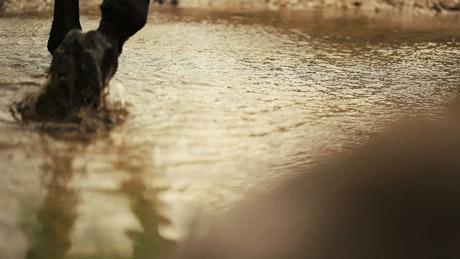 Horse walking through a shallow stream