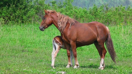 Horse with his colt in the meadow