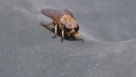Horsefly, close up